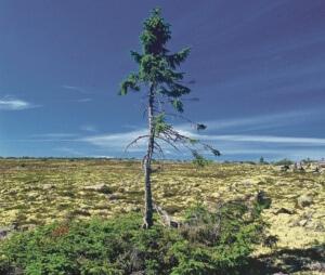 Den 9 500 år gamla granen på Fulufjället.