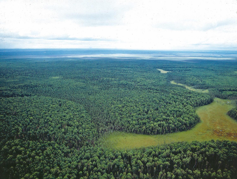 I det inre av Ryssland fungerar fortfarande taigaskogens naturliga branddynamik. De ljusgröna partierna i bilden domineras av lövträd, vilket indikerar att skogen brunnit för inte så länge sedan. I de mörkare gröna områdena är marken fuktig. Elden har inte kommit åt där vilket gör att de domineras av gran.