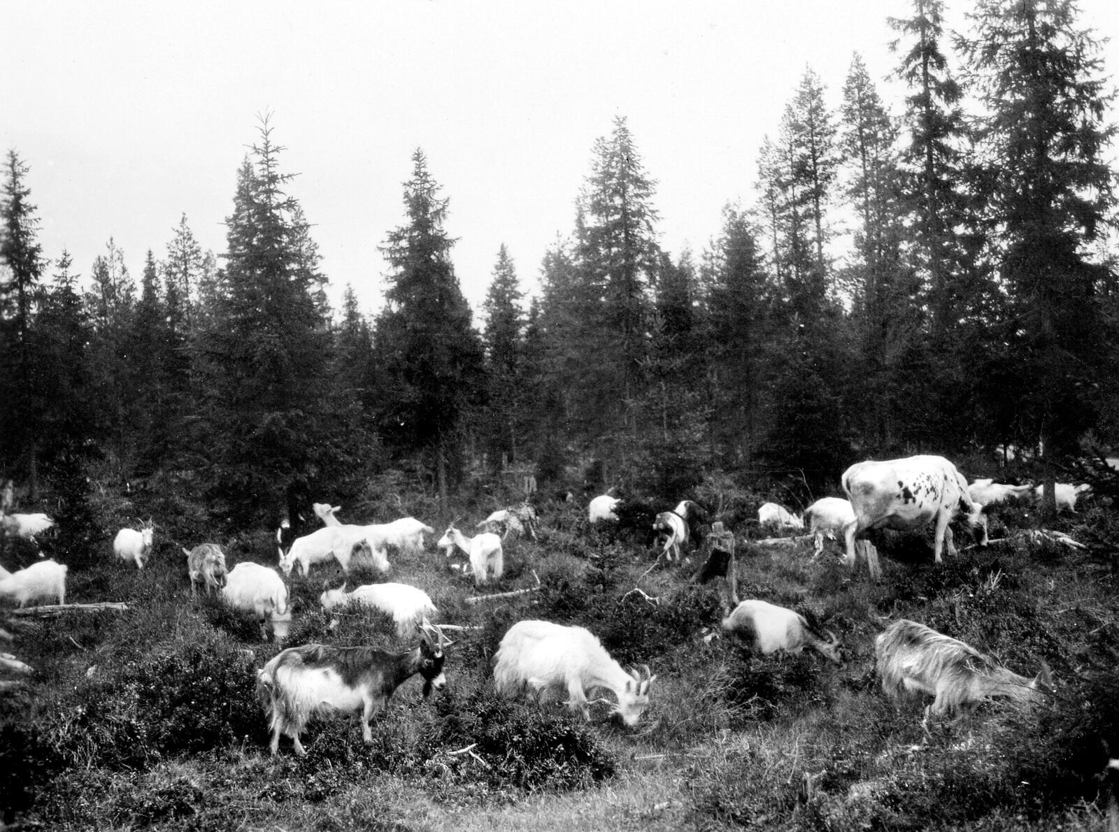 Människans påverkan på skogen var liten. Där hämtade man byggnadsvirke och brännved. Där släppte man också sin kor och getter på bete.