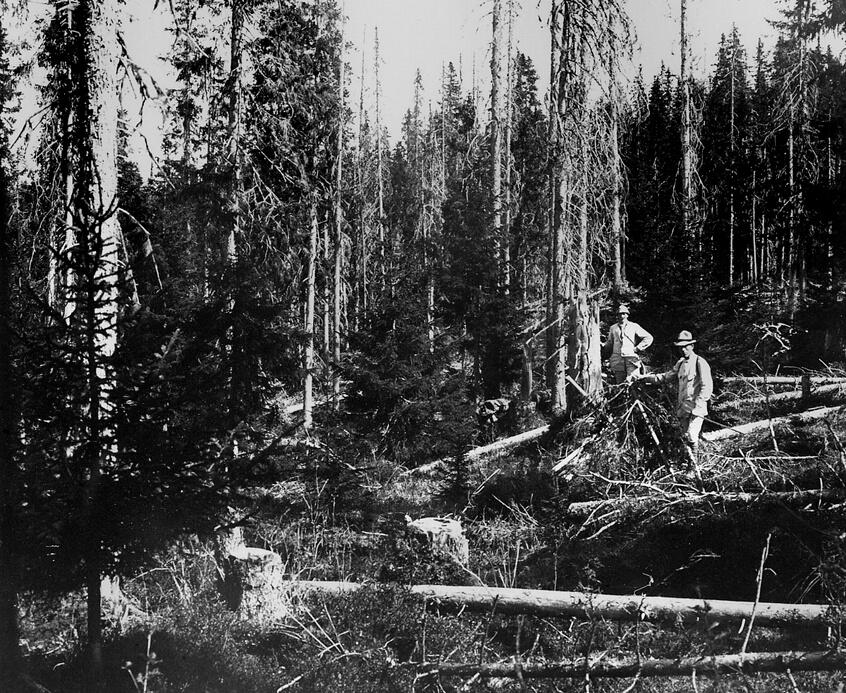 Blädningshygge upptaget år 1894 i ett cirka 230-årigt granbestånd. Efter avverkningen har skogen inte föryngrats. SLU, Skogsbibliotekets bildarkiv.