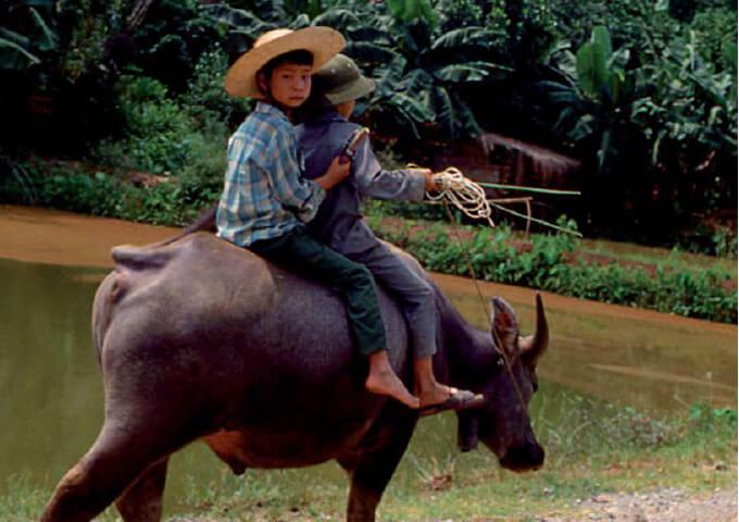 Vattenbuffel Vietnam