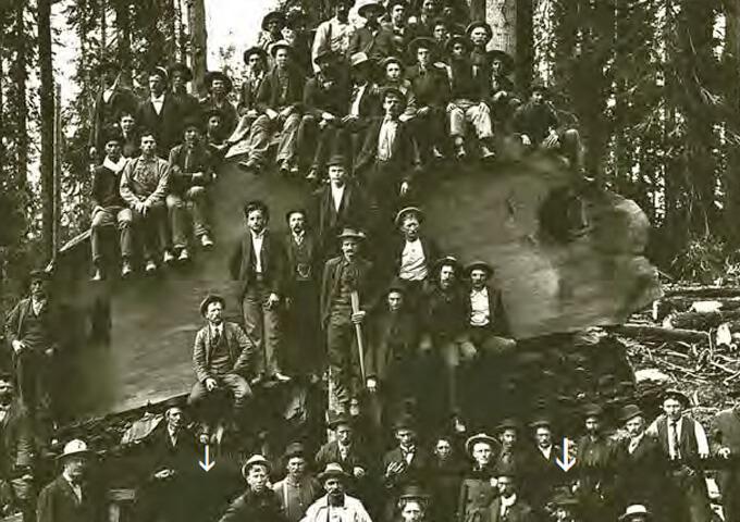 60 timmerhuggare i änden på ett Sequoiaträd med 7,8 m diameter. Observera sågen som är 8,4 m lång. Ca 1890, Converse basin Kalifornien, USA.