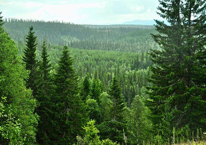 Norrbottens skog